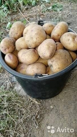 Картофель синеглазка: 8 особенностей и 10 советов по посадке и уходу