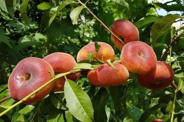 Инжирный персик – как выглядит, как получили, где и как растет, популярные сорта