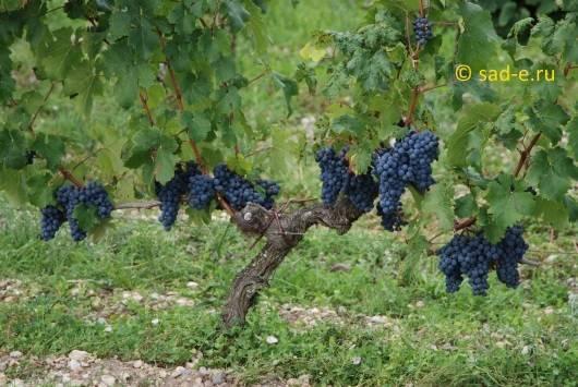 Почему после обрезки виноград заплакал?