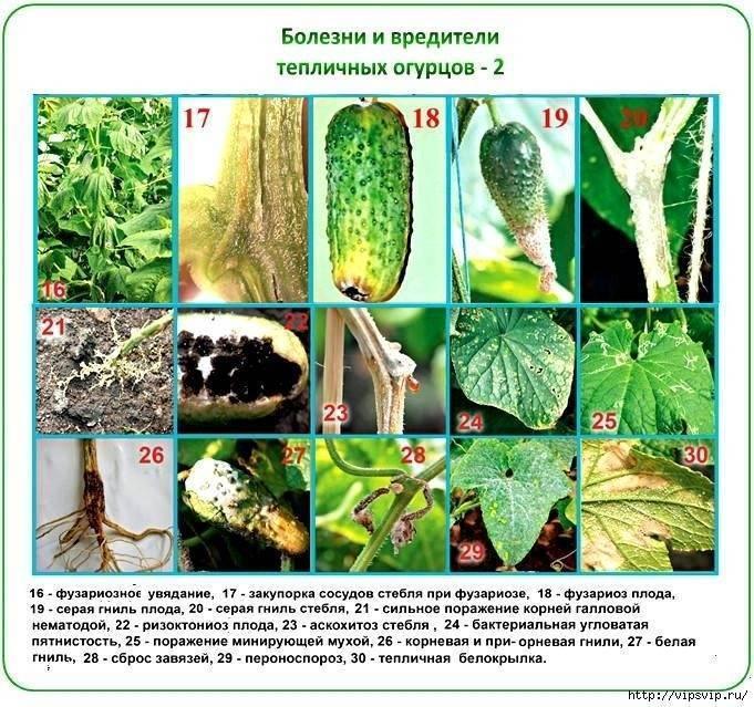 О болезнях огурцов: борьба с корневой гнилью, белым налетом, профилактика заболеваний