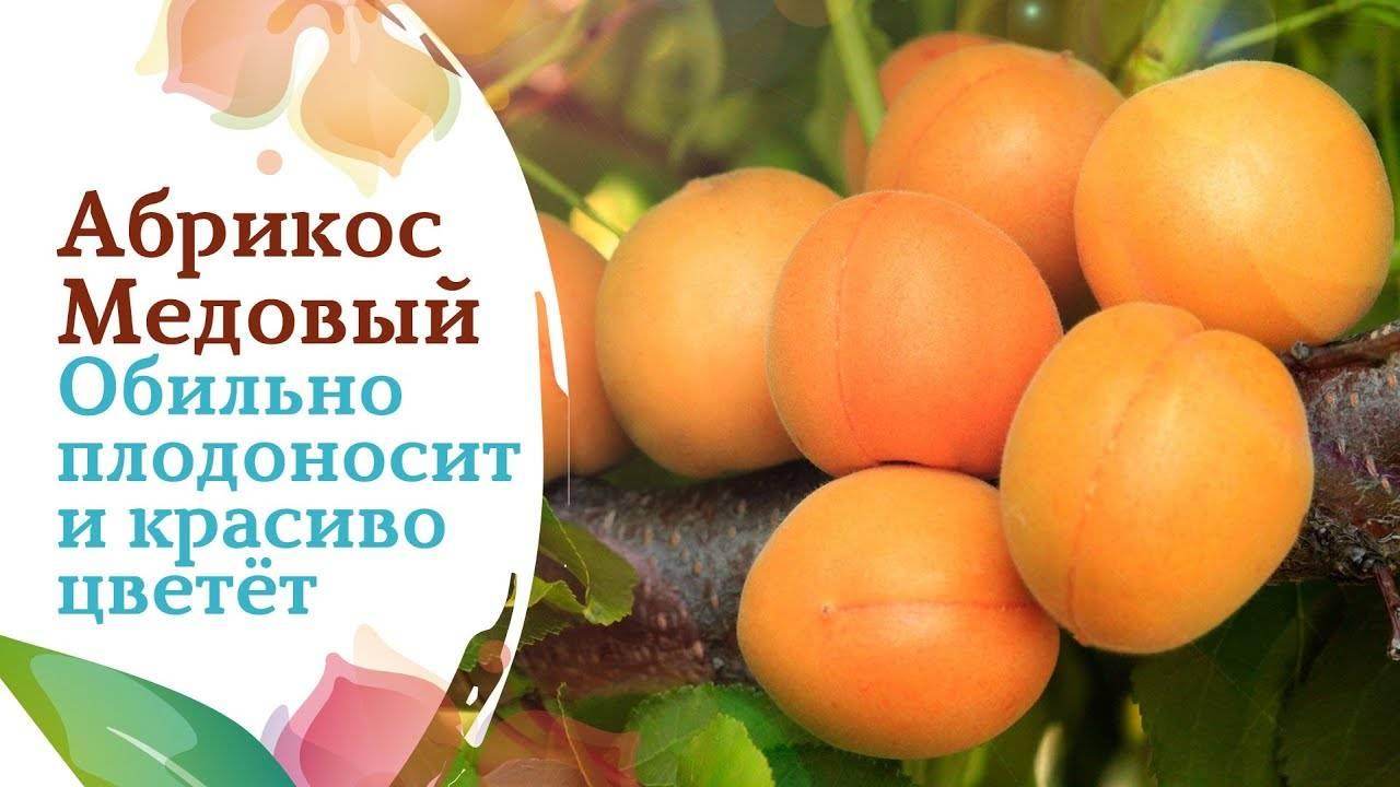 Особенности выращивания и описание абрикоса сорта снежинский