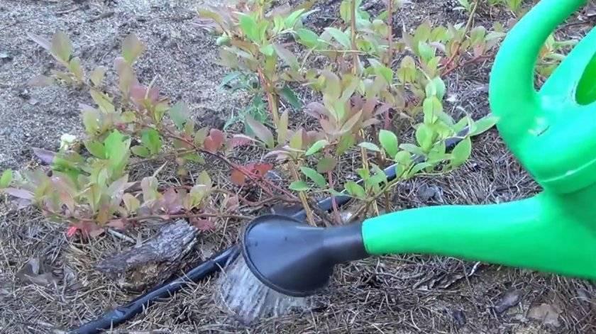 Посадка и выращивание голубики: грунт, удобрения, советы по уходу