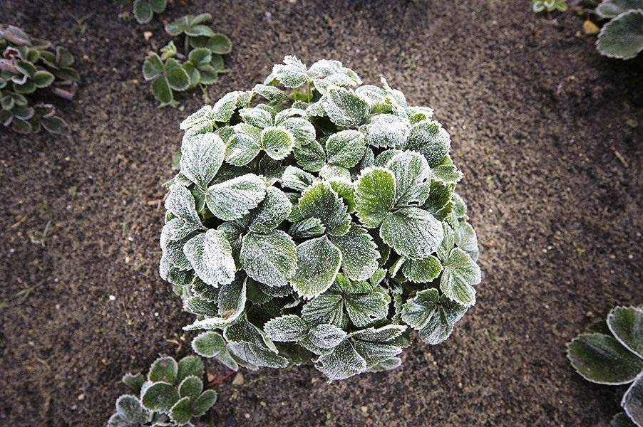 Какую температуру выдерживает цветущая клубника. как защитить растения от возвратных заморозков
