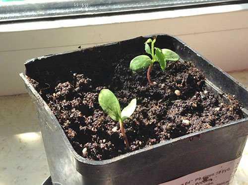 Подробности о том, как вырастить яблоню из семечка в домашних условиях