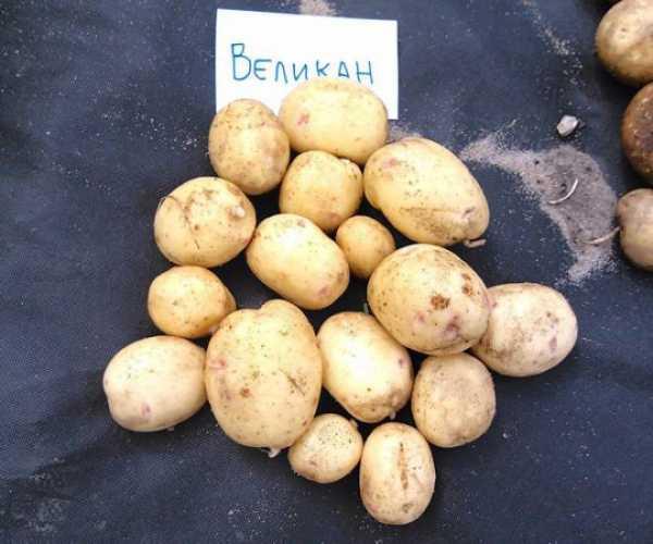 Картофель каменский: описание и характеристика, агротехника посадки и ухода