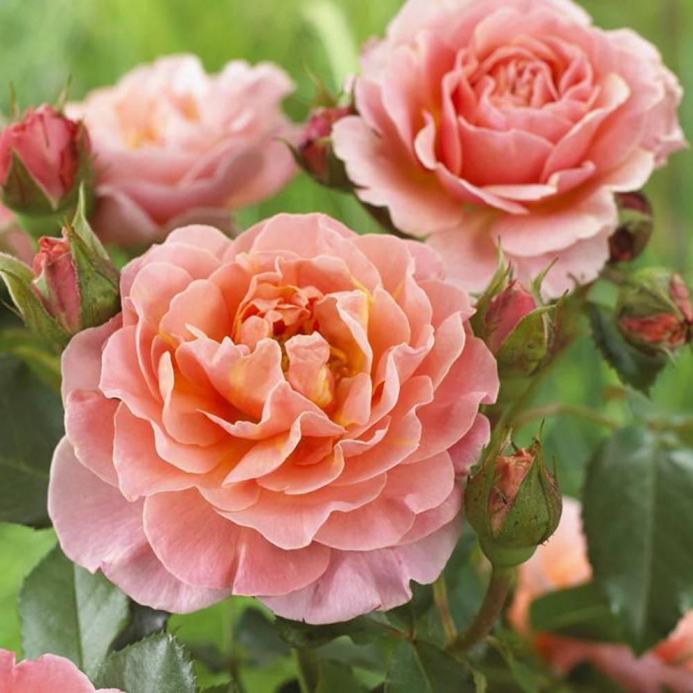 Роза мари кюри: описание сорта, посадка, уход