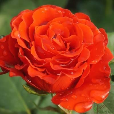 Посадка, размножение и уход за розой эль торо