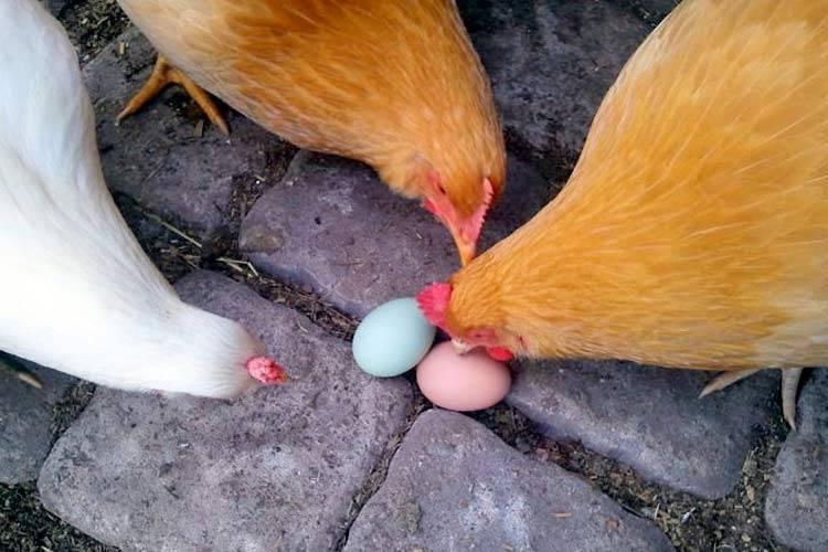 Почему куры едят свои яйца что делать