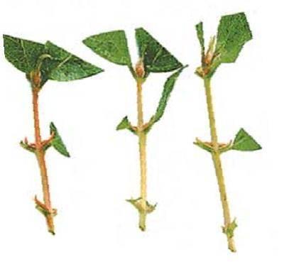 5 разных способов, которыми размножается жасмин и 8 полезных советов, как его выращивать