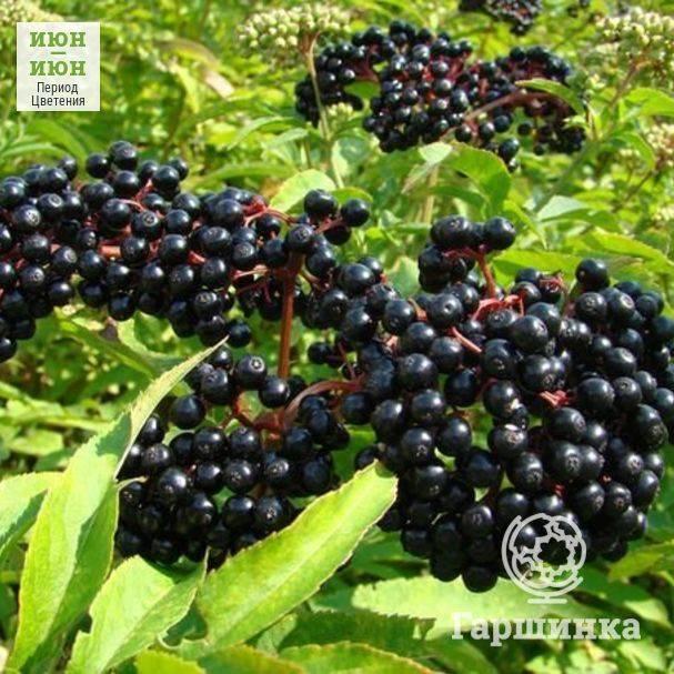 Особенности выращивания бузины, виды, сорта и размножение
