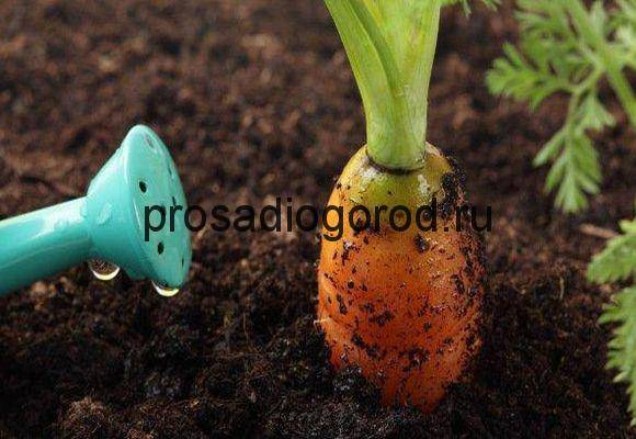 Подкормка моркови в открытом грунте - самые эффективные рецепты