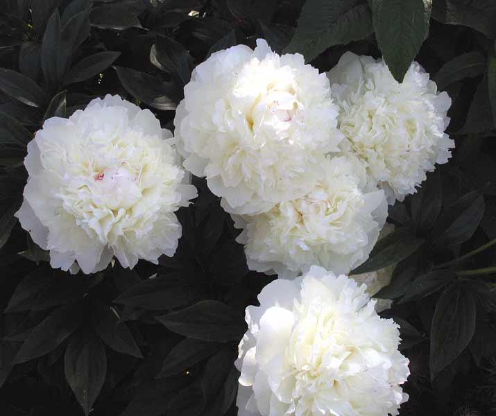 Древовидный пион — описание вида, лучшие сорта для сада