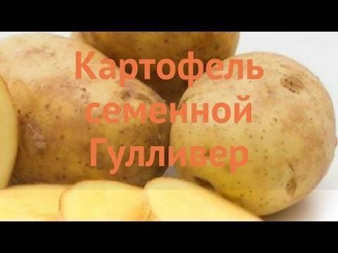 Картофель императрица: характеристика и особенности выращивания сорта