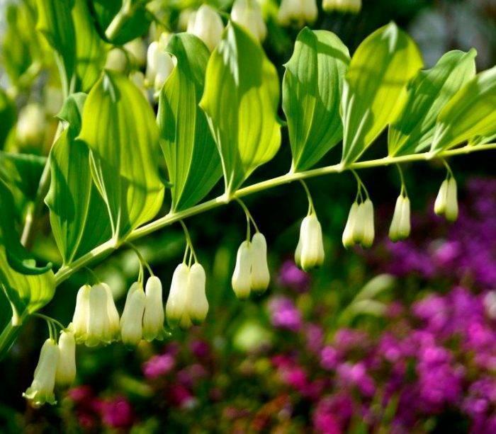 Купена душистая - polygonatum odoratum - описание таксона - плантариум