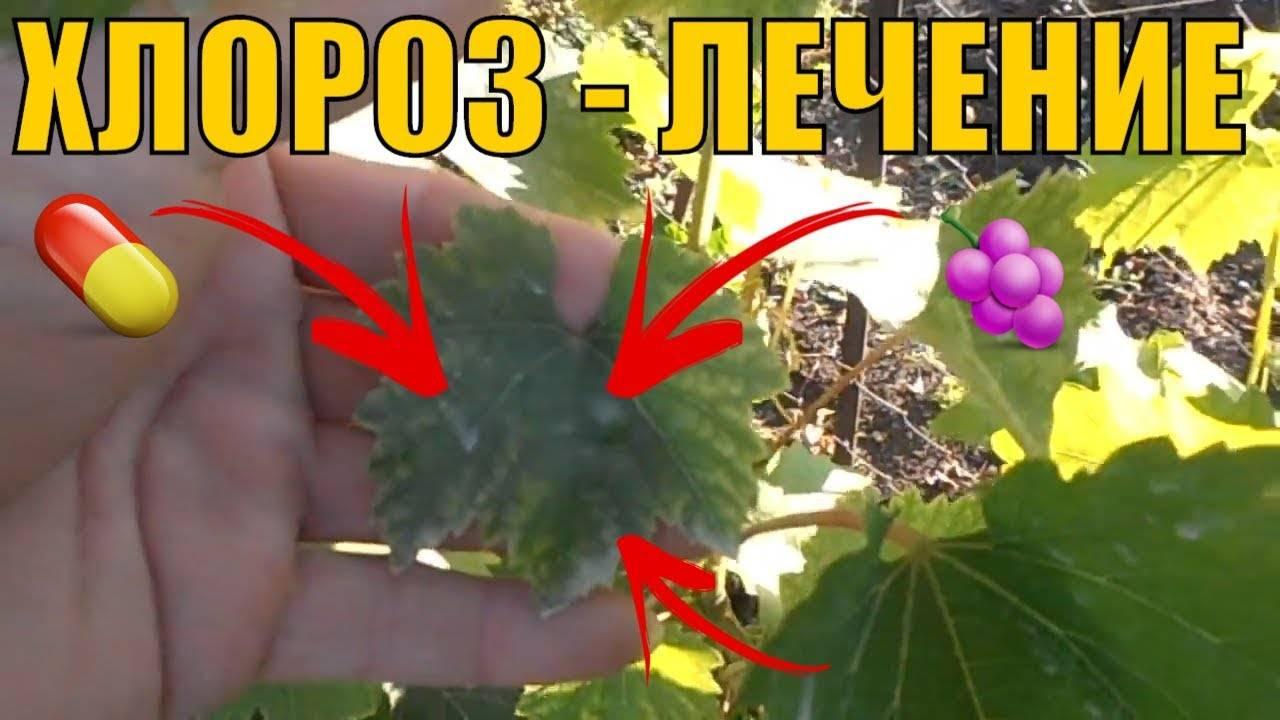 Лечение хлороза винограда: что делать, чтобы болезнь отступила, фото