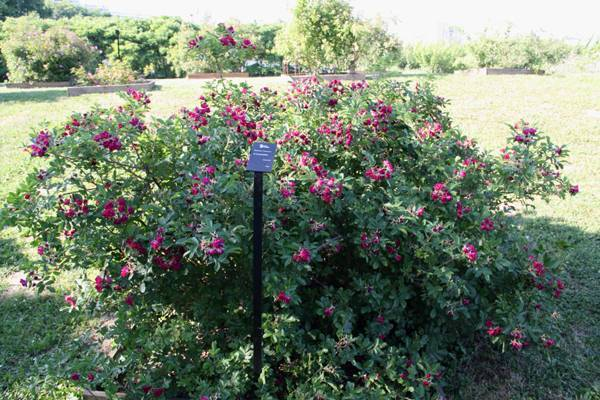 Роза ругоза — декоративный шиповник, дающий высокий урожай