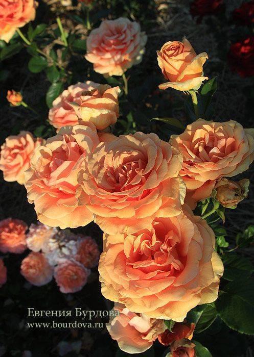 Naranga — чайно-гибридная роза от селекционеров tantau