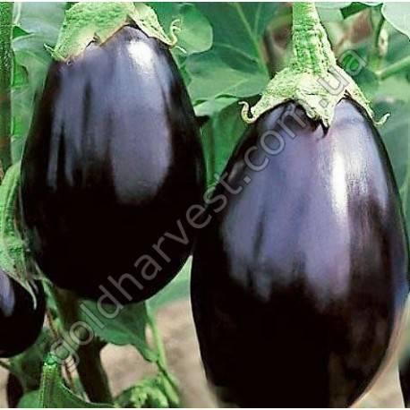 Баклажан черный красавец и его выращивание