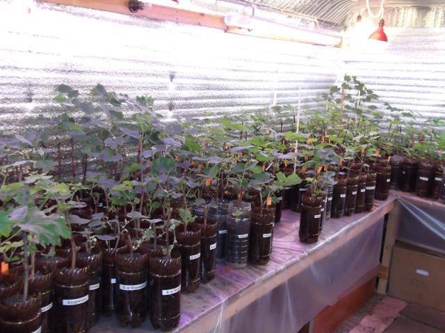 Как проращивать черенки винограда в домашних условиях правильно.