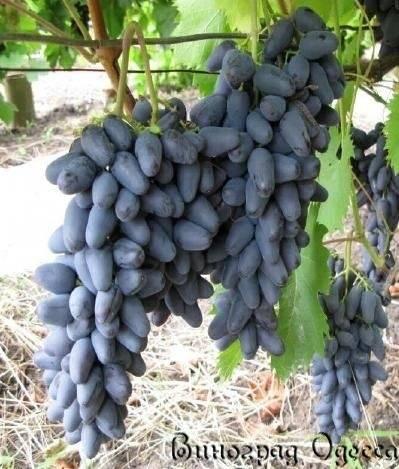 Полезные свойства винограда и возможный вред