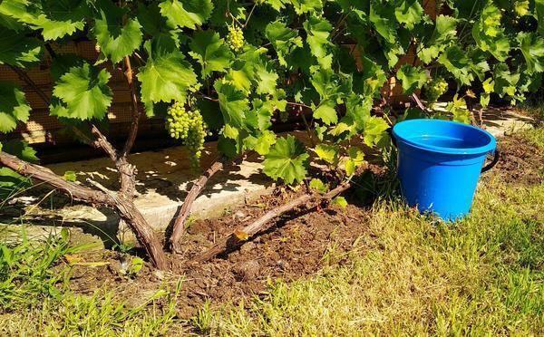 Как правильно поливать виноград?