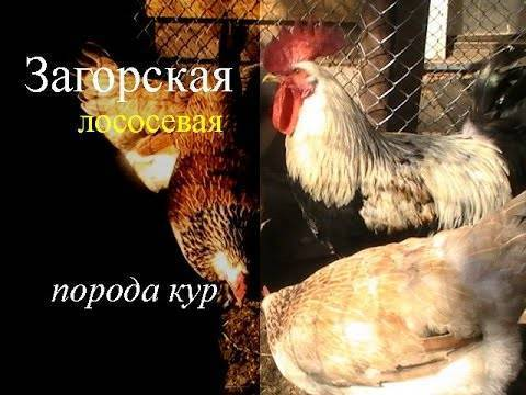 Все о загорской лососевой породе кур