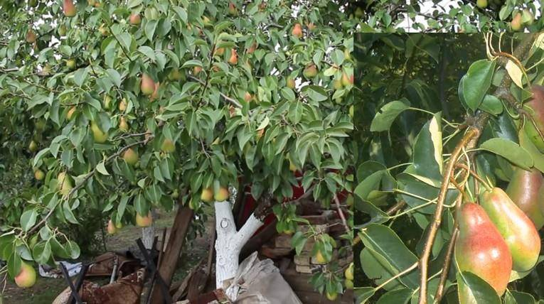Как выращивать в подмосковье груши сорта талгарская красавица