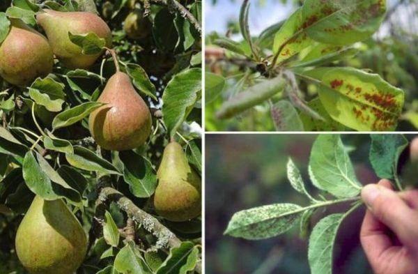 Характеристика сорта груши феерия