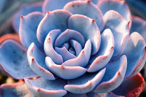 Каменная роза или молодило. уход, почва, размножение дома.