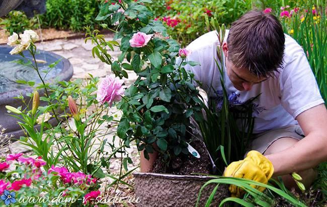 О подкормке роз в августе и сентябре: чем можно удобрять, подкармливать