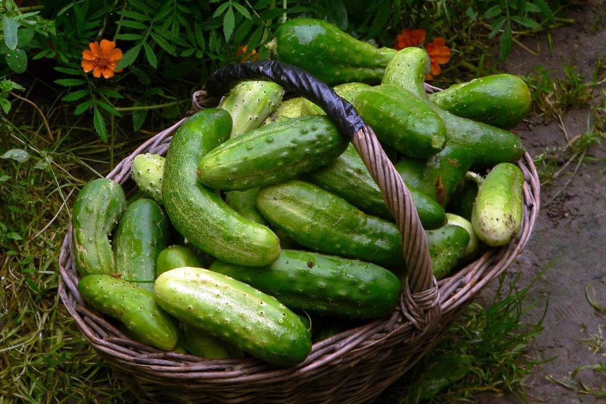 Все о сорте огурца вязниковский: описание, агротехника выращивания и уход