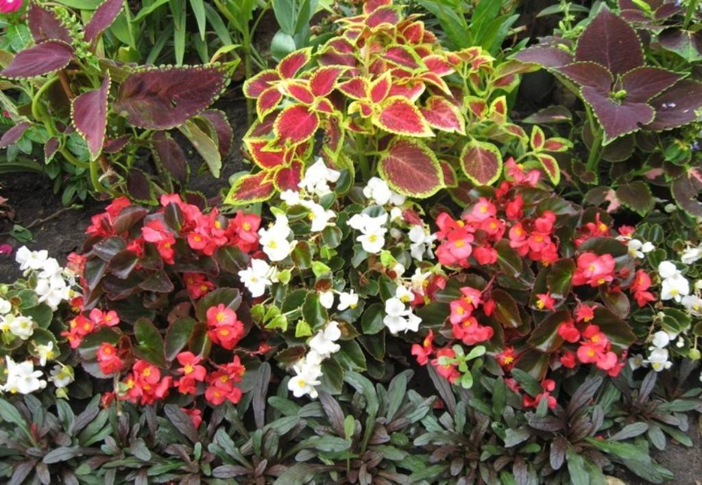 Бегония всегдацветущая: посев семян и уход за растением, описание сортов