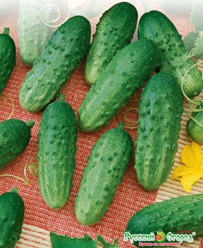 Огурец темп f1: описание гибрида и особенности выращивания