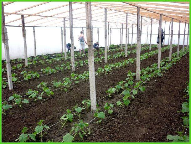 Подготовка почвы для огурцов в теплице весной: какую землю любят, чем ее обработать