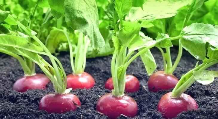 Как правильно посадить редиску! узнай, после каких культур можно сажать редиску весной в открытый грунт