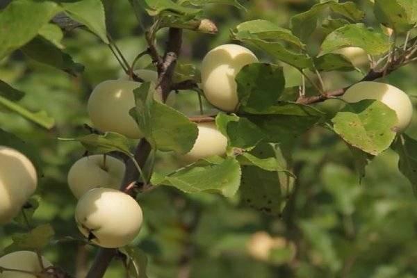 Секреты яблоневого сада в сибири. посадка