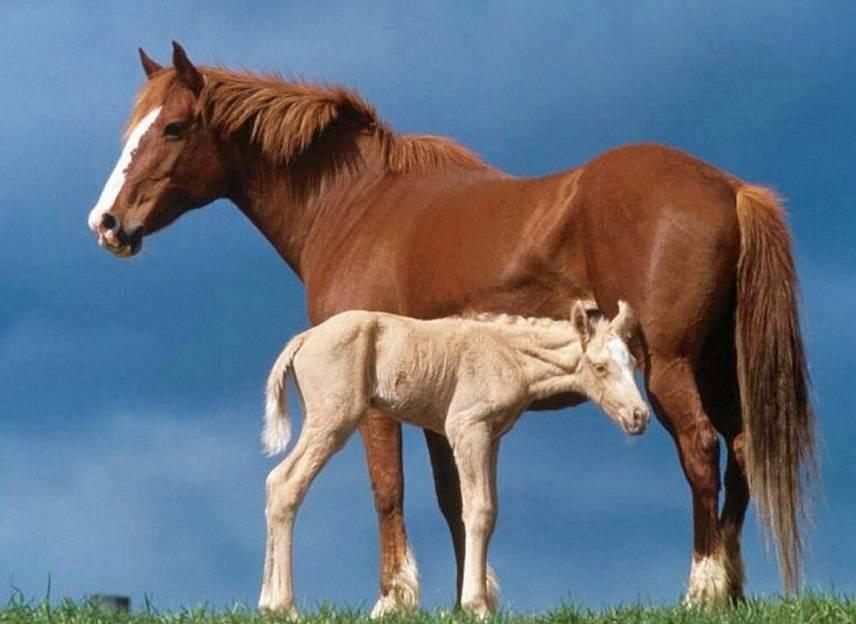 Молочная продуктивность и производство кобыльего молока башкирской лошади