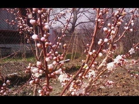 6 причин, почему абрикос весной не цветет