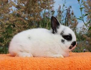 Кролик бабочка: характеристика породы и особенности разведения