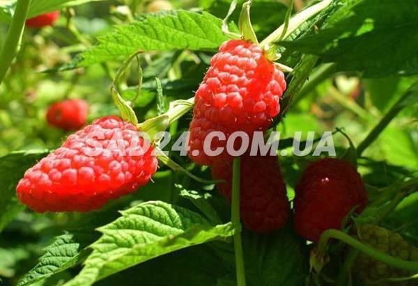 Малина сорта патриция – вкусный урожай крупных ягод