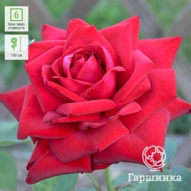 Правила выращивания розы burgundy ice