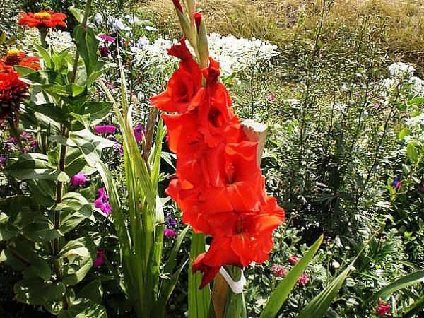 Гладиолусы: посадка и уход в открытом грунте, опыт выращивания