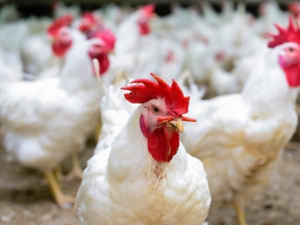 Сальмонеллез у кур: симптомы и лечение, профилактика