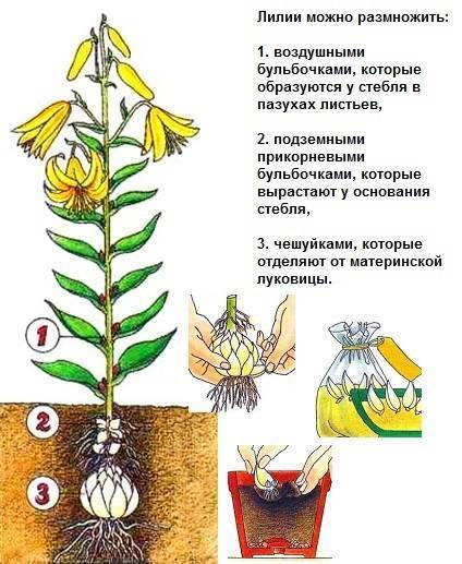 Когда высаживать лилии весной в открытый грунт