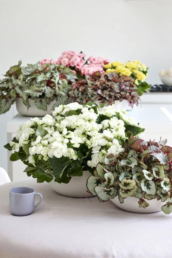 Бегония: уход в домашних условиях, выбор растения при покупке. виды для комнатного разведения. болезни – причины и лечение