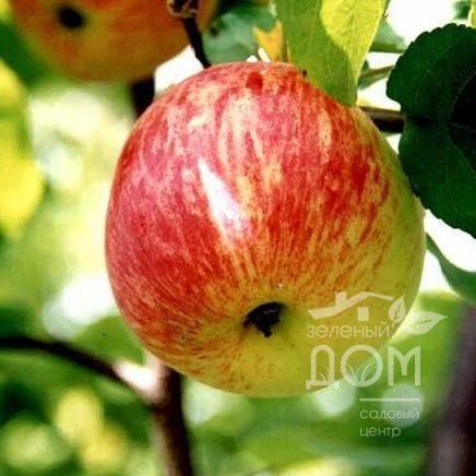 Прекрасная яблоня анис: свердловский, алый, полосатый