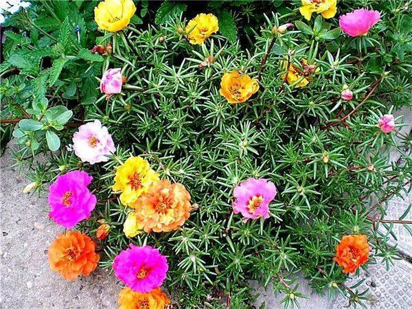 Низкорослые цветы для клумбы цветущие все лето, фото