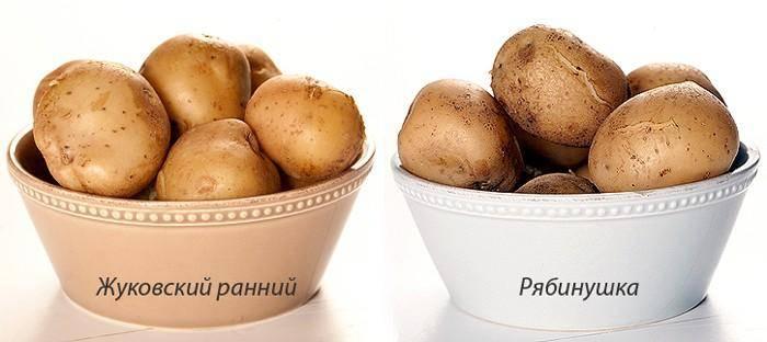 Картофель краса: описание сорта, его характеристика, фото
