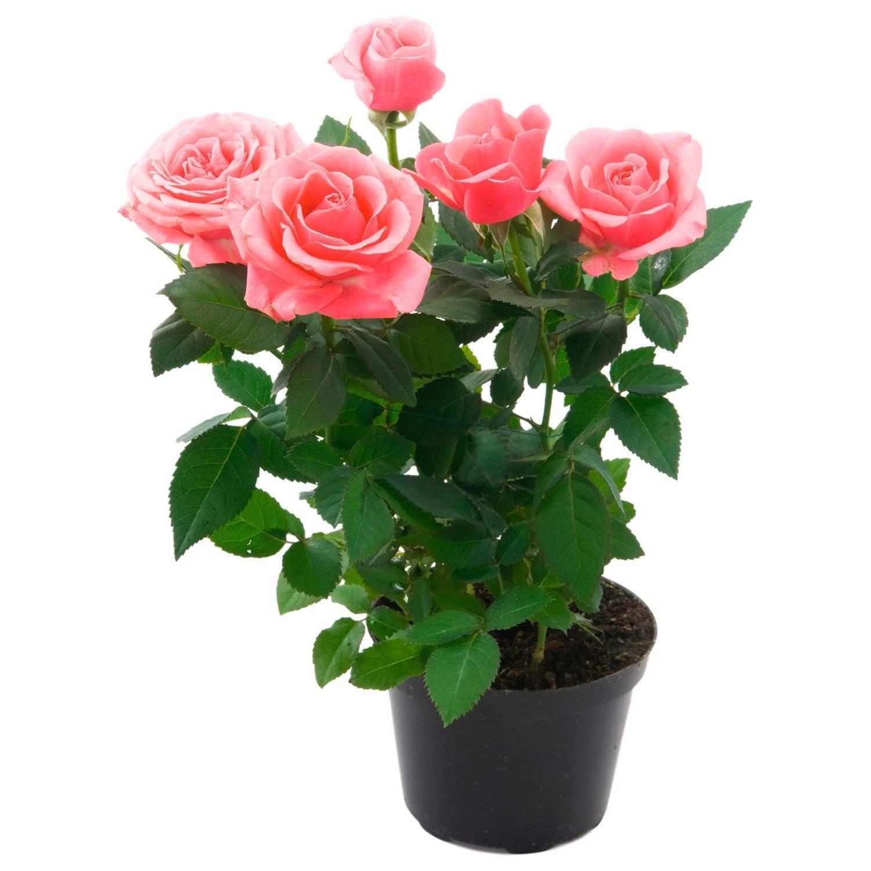 Роза кордана - уход в домашних условиях, в саду, зимовка