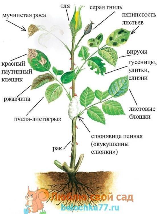 Как бороться с трипсами на розах – подробное руководство